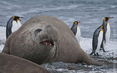 The Southern elephant seal is the largest carnivore living today.