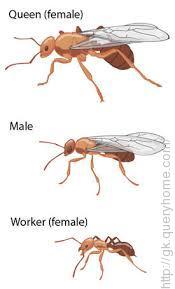 Drones Ant