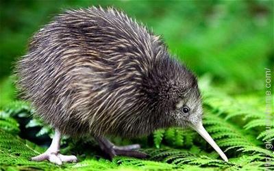 In New Zealand kiwi birds are found.