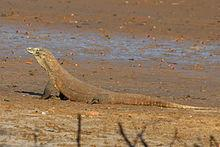 National animal of Indonesia is Komodo dragon.