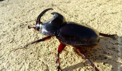A rhinoceros beetle can carry about 850 times weight compared to its body weight.
