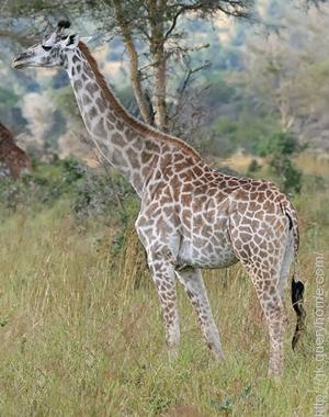 Giraffes have the longest tails of any land mammal