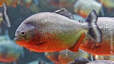 Piranhas are found only in South America continent.