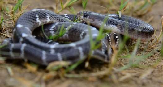 10 Most Venomous Snakes in the World