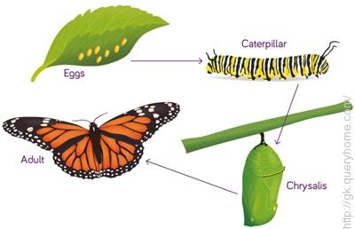 There are four stage of a Butterfly life cycle.
