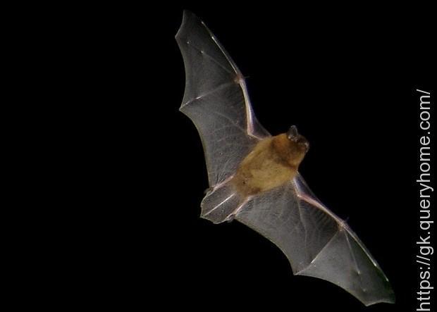 Can any bats walk