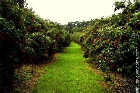 Litchi farm in Muzzaffarpur