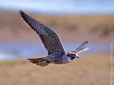 The stoop, or dive, of which bird can reach more than 330 km/h (205 mph)?