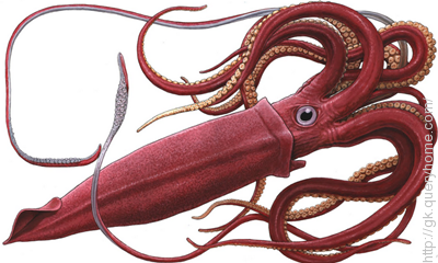 Colossal Squid is the largest Invertebrate in the world.