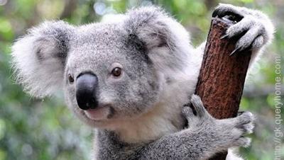 Koalas are found only in Australia.
