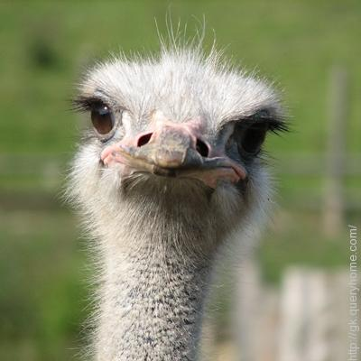 Ostrich has the largest eye of any land animal in the world.