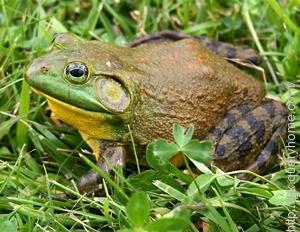 Frog take breathes through their skin.