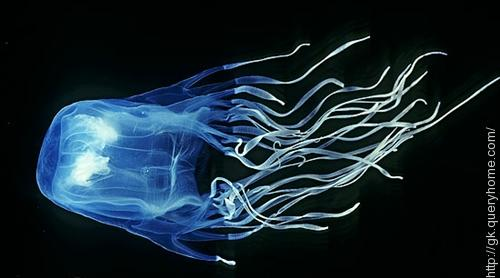 Box Jellyfish is the most venomous animal in the world.