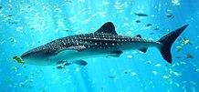 Whale Shark (World's largest living fish)